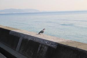 湘南海岸と鳩?